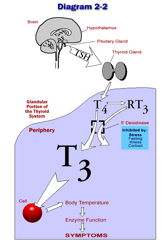 Temperature Regulated By The Thyroid System Wilson S Syndrome