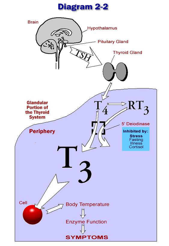 how to develop more cortisol receptors